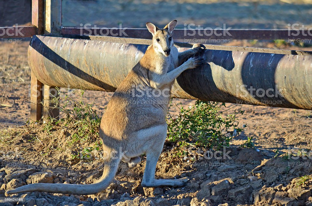 Male Agile Wallaby (Macropus agilis) at a drinking trough stock photo