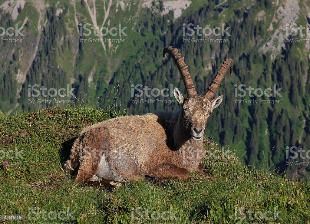 Male alpine ibex resting on a mountain ridge stock photo