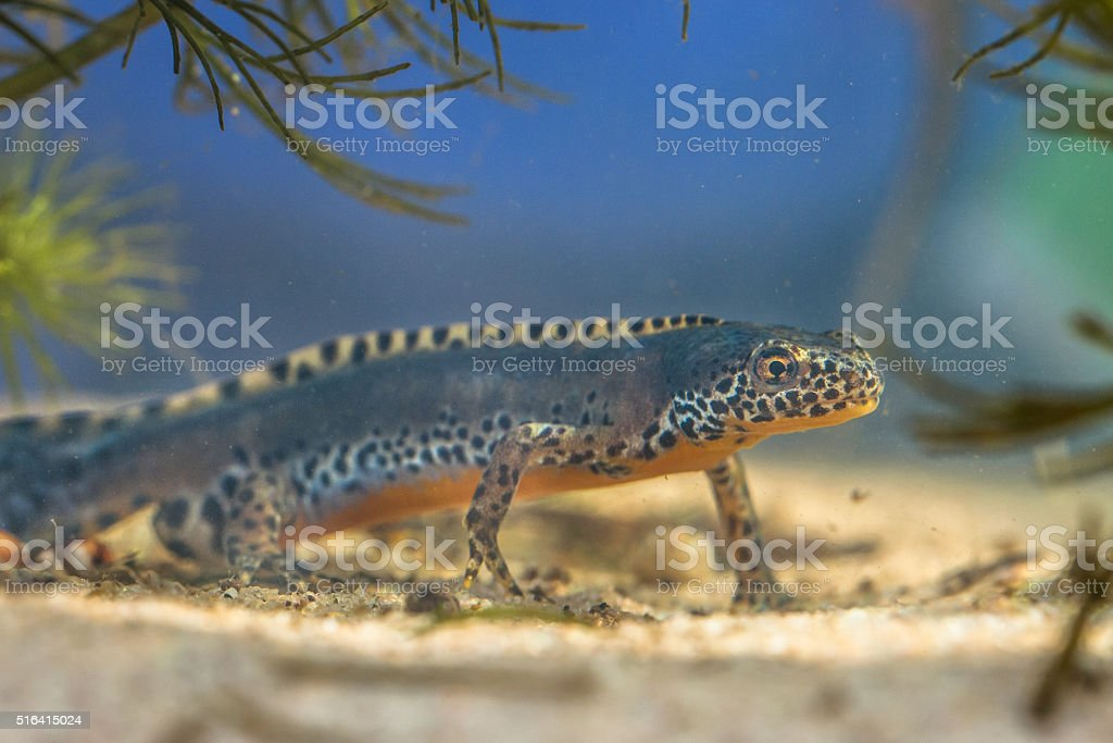Male Alpine Newt in a pool stock photo