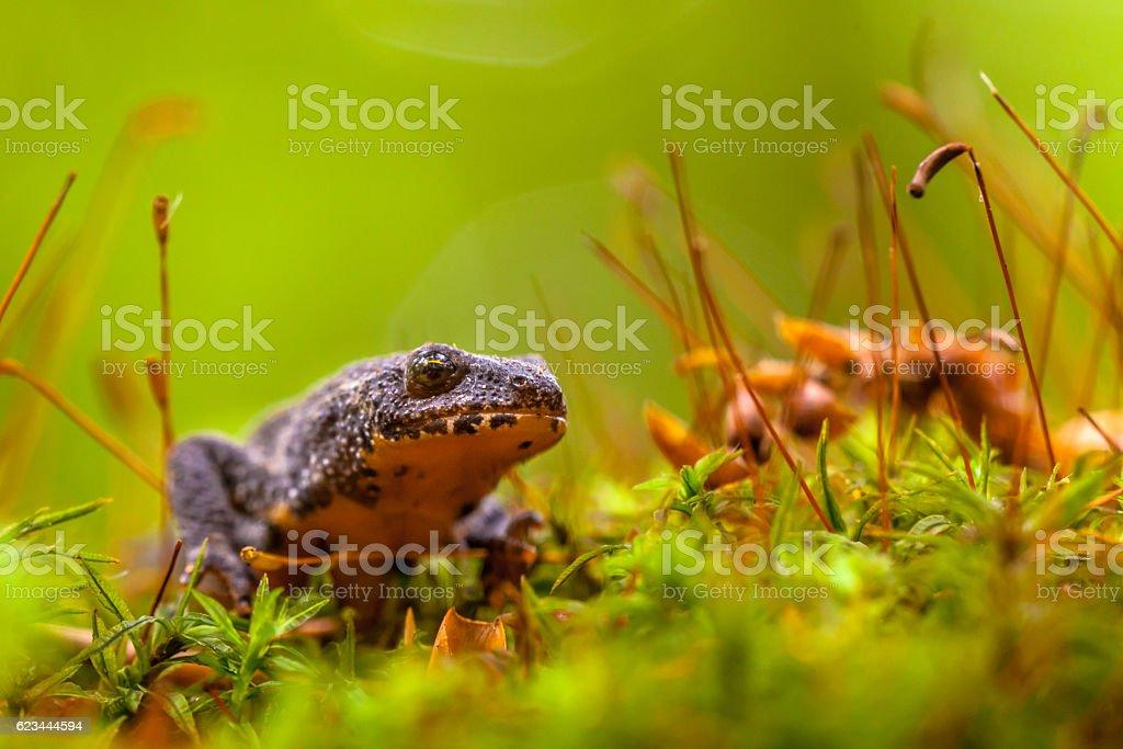 Male Alpine Newt Walking through a Field of Moss stock photo