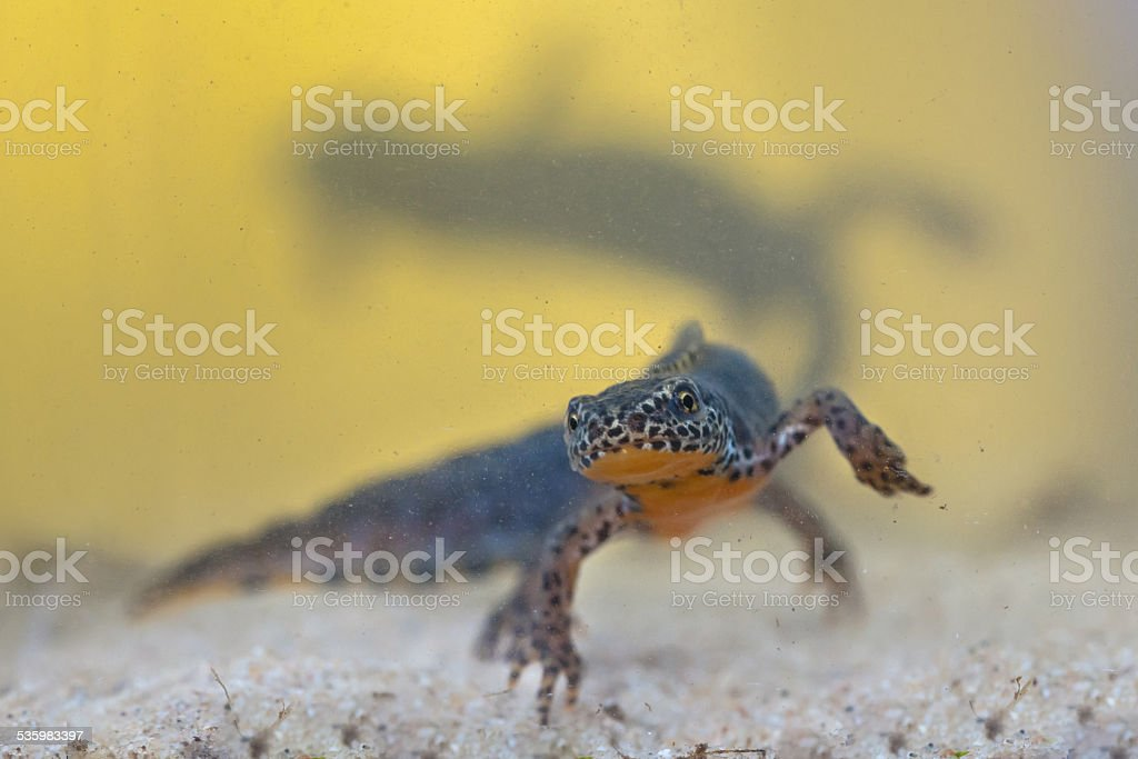 Male Alpine Newt with female in backdrop stock photo