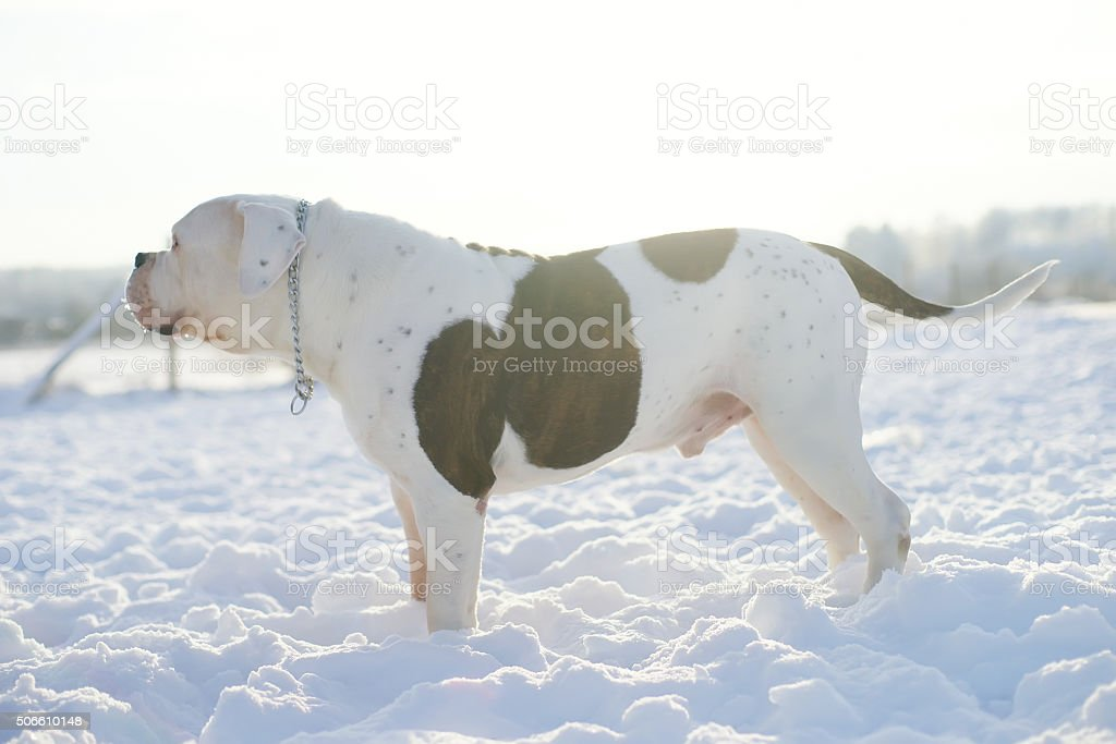 Male American Bulldog staying outdoors on snow at sunny weather stock photo