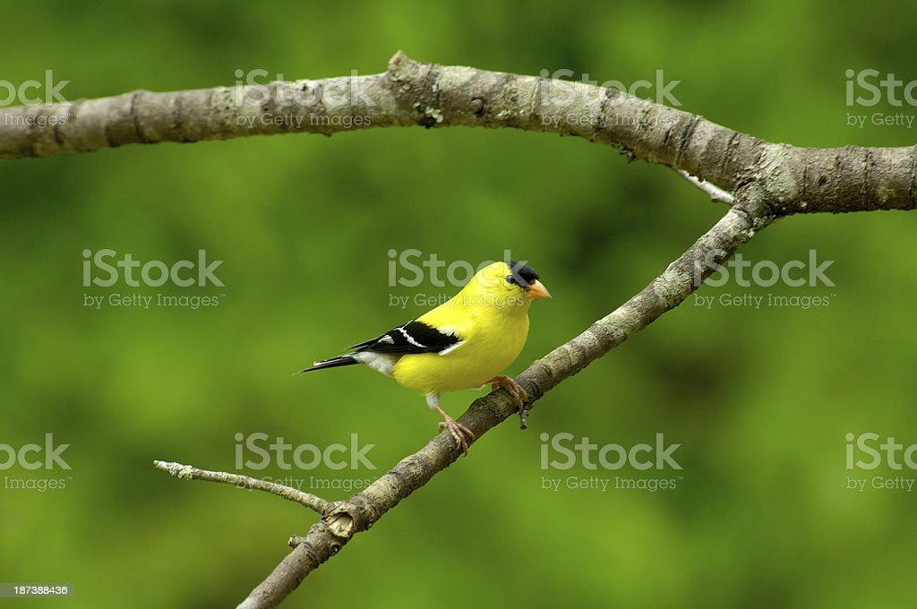 Male American Goldfinch (Carduelis tristis) front view royalty-free stock photo