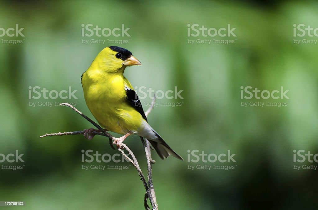Male American Goldfinch Perched on a Branch stock photo
