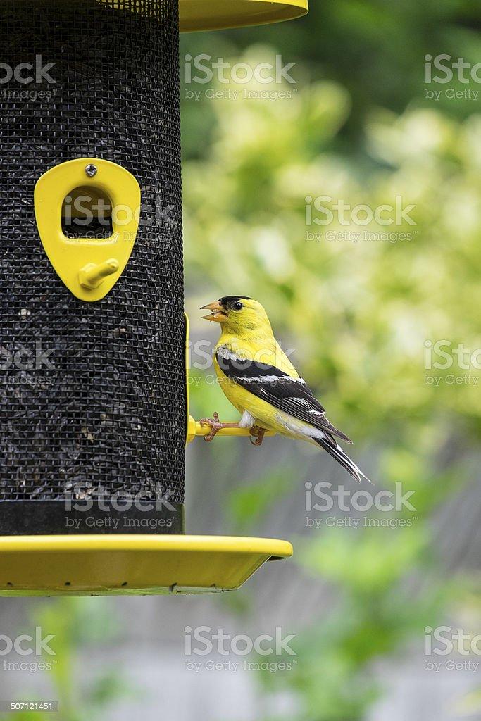 Male American Goldfinch stock photo