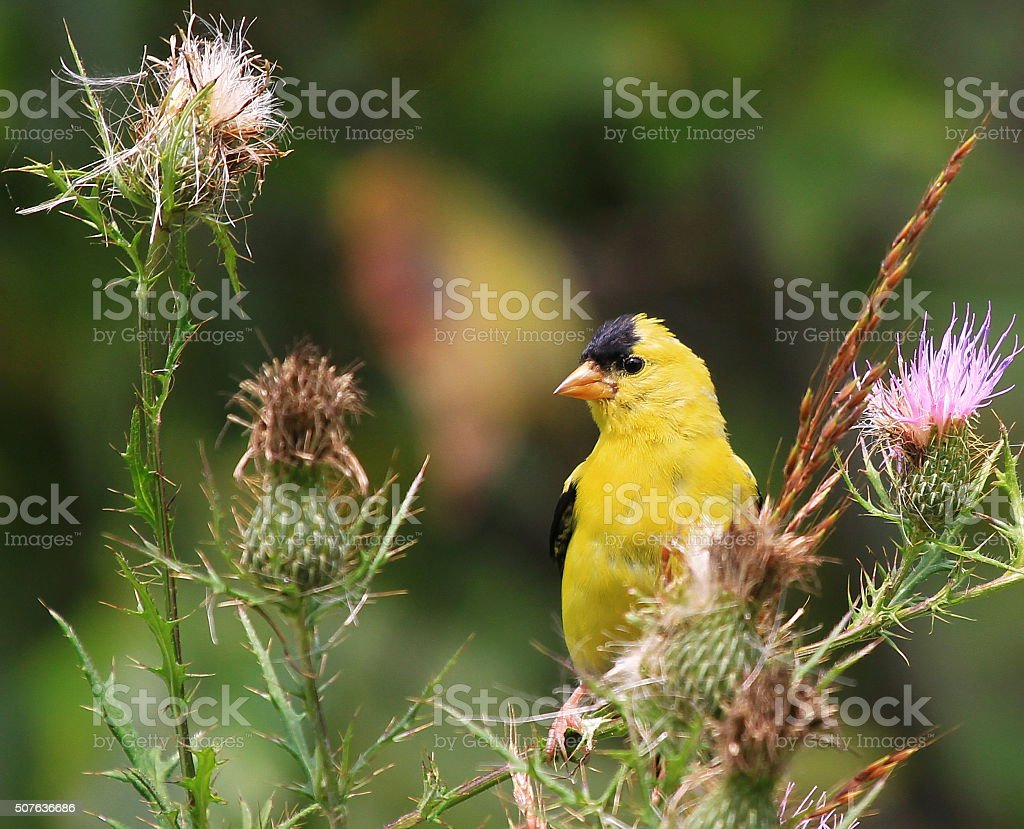 Male American Goldfinch stock photo