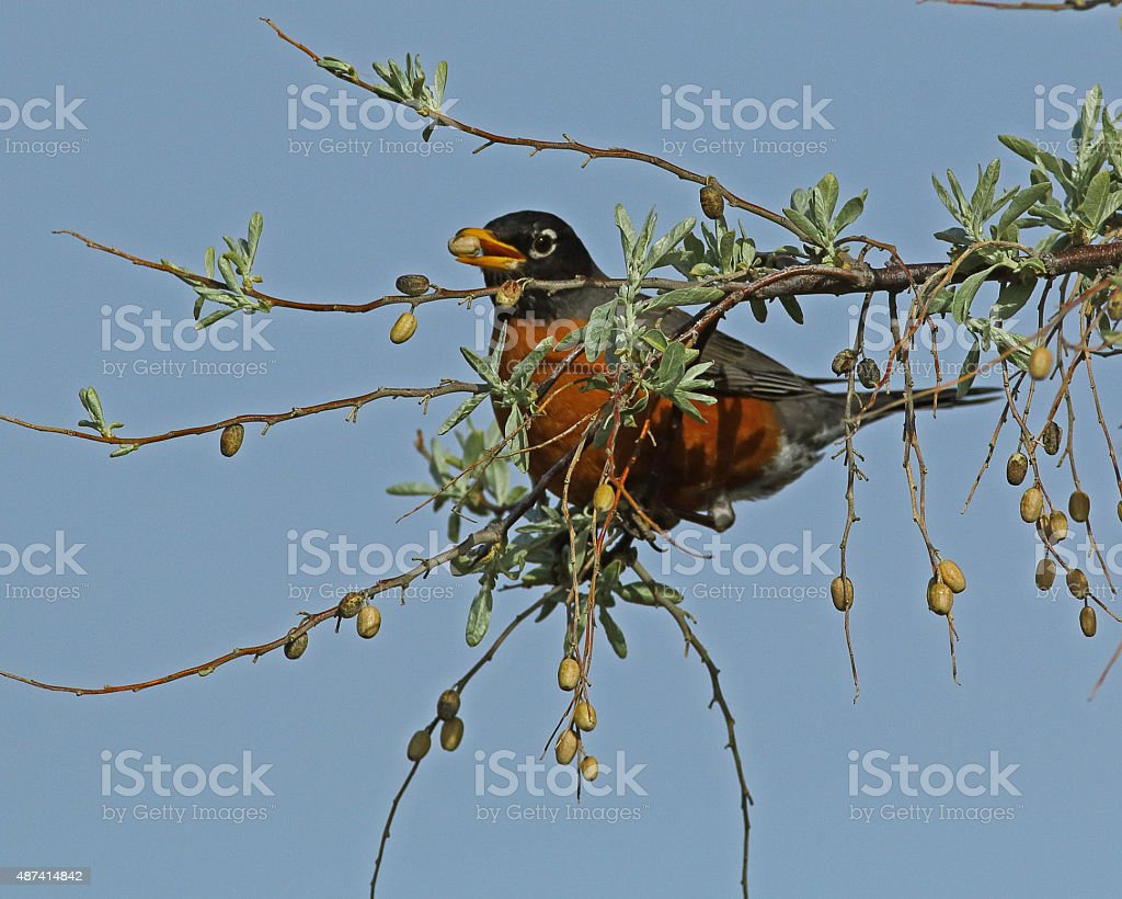 Male American Robin Eating Russian Olives stock photo