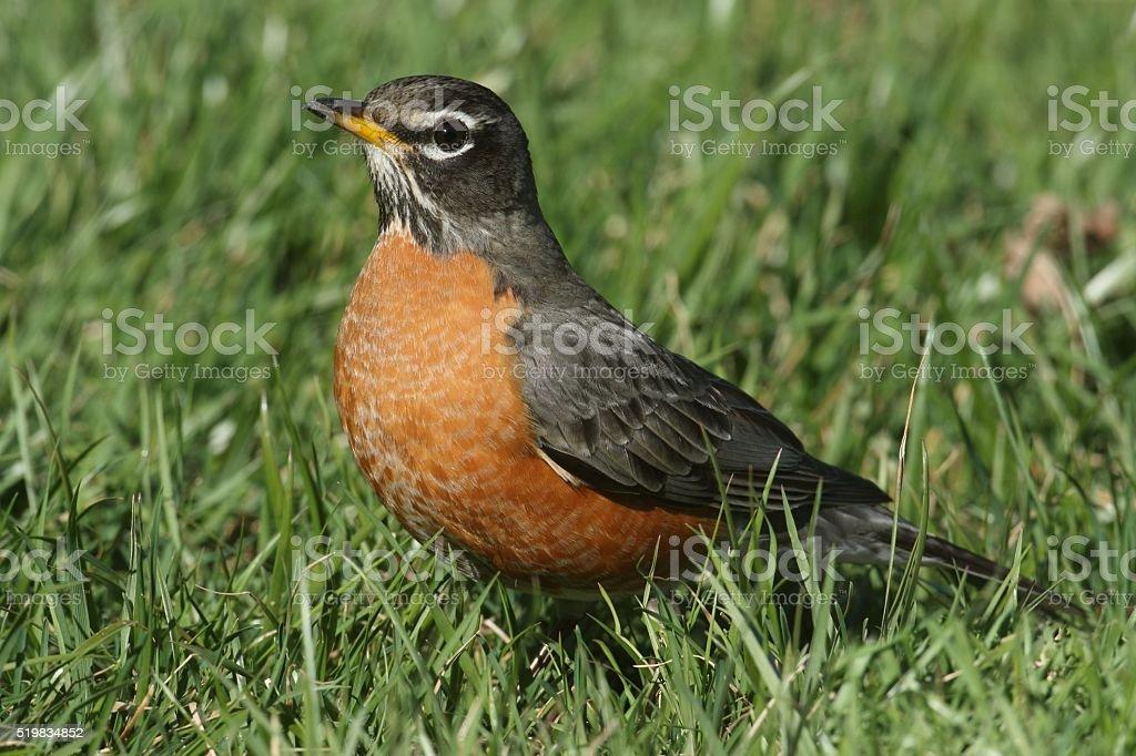 Male American Robin (Turdus migratorius) stock photo