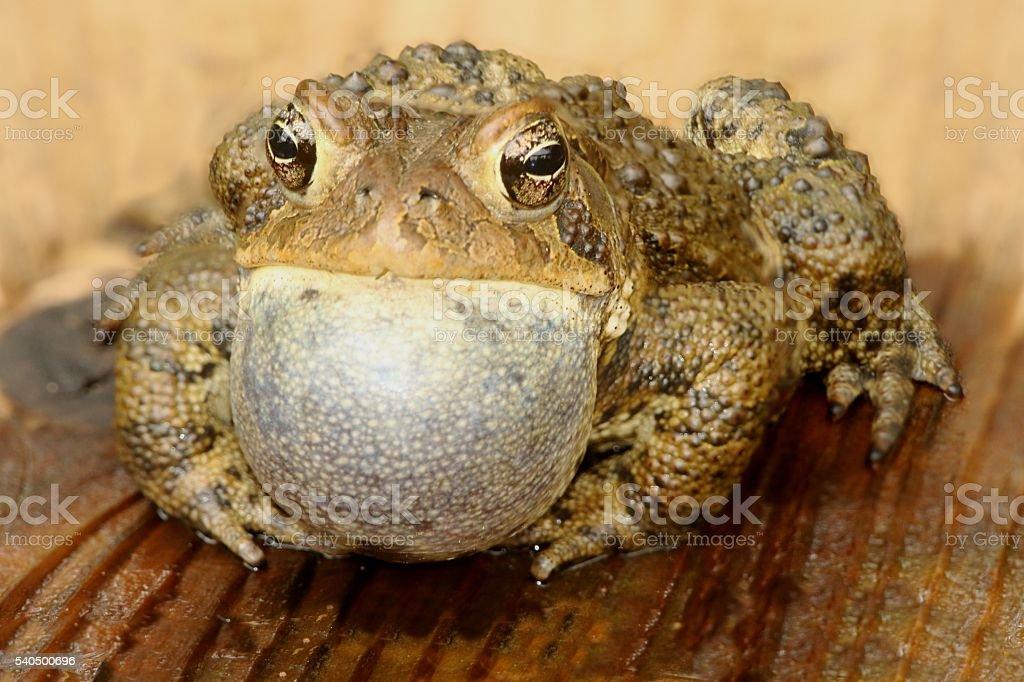 Male American Toad (Bufo americanus) stock photo