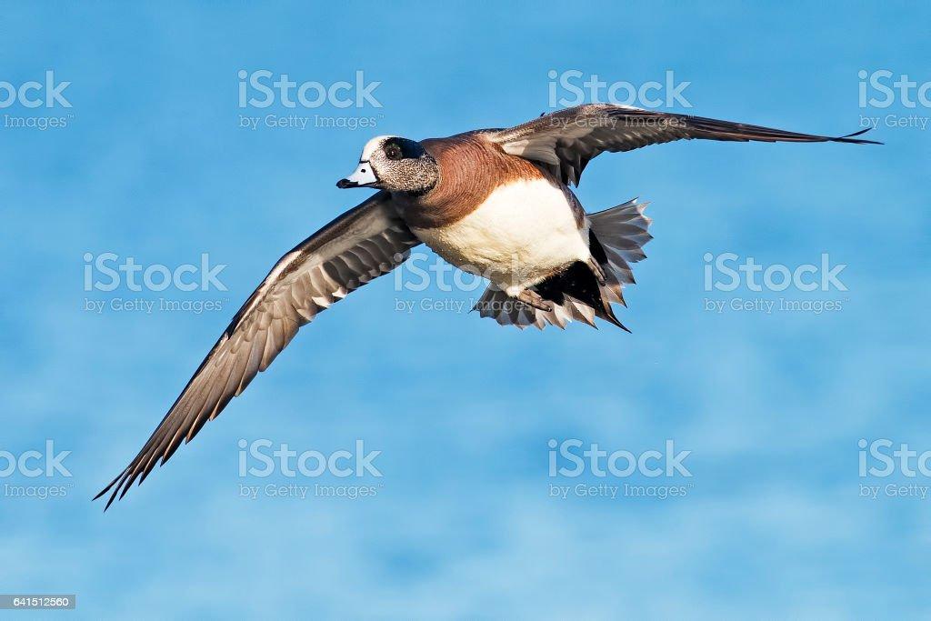 Male American Wigeon Duck in Flight stock photo