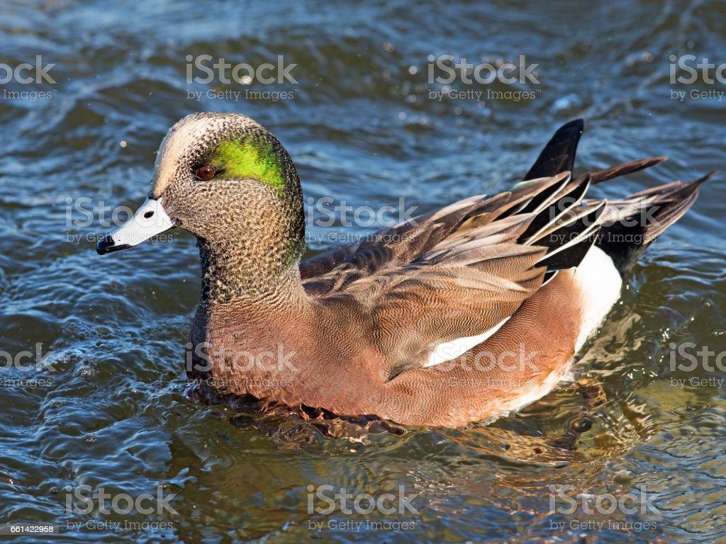 Male American Wigeon Duck stock photo