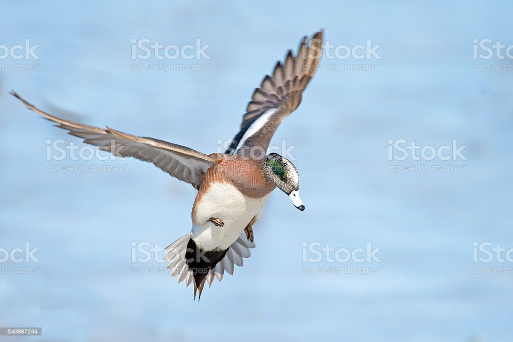 Male American Wigeon in Flight stock photo