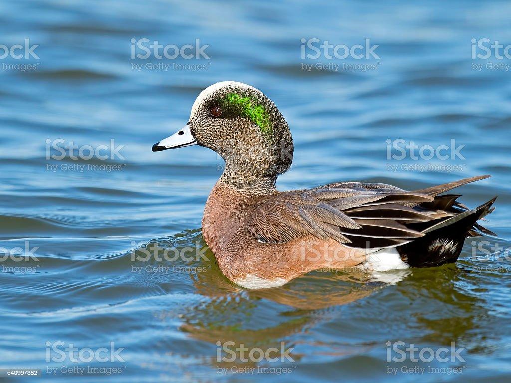 Male American Wigeon stock photo
