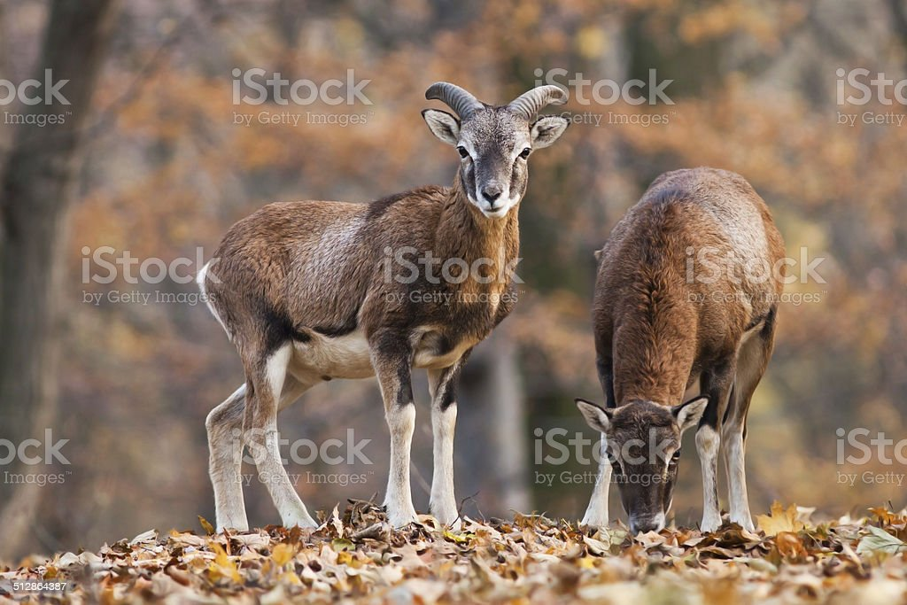 Male an female mouflon in the forest stock photo