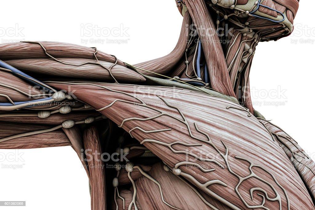 male anatomy body stock photo