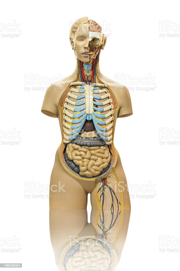 Male anatomy model on white royalty-free stock photo