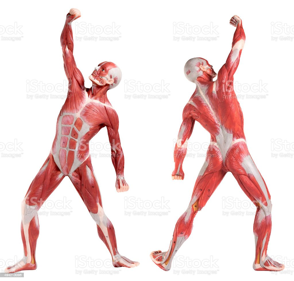 male anatomy of muscular system (front and back view) stock photo