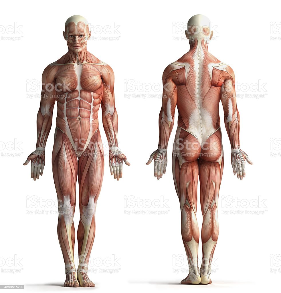 male anatomy view stock photo