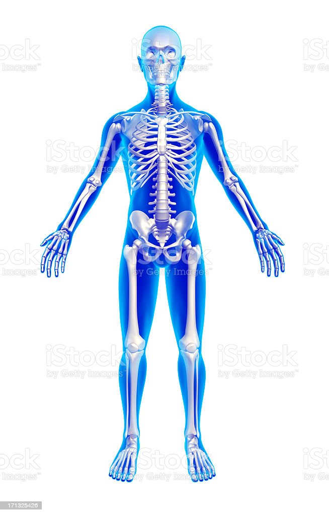Male anatomy with skeleton - isolated w clipping paths stock photo