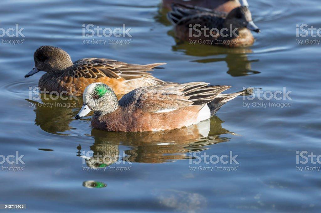 Male and Female Amercian Wigeon (Anas americana) Ducks stock photo