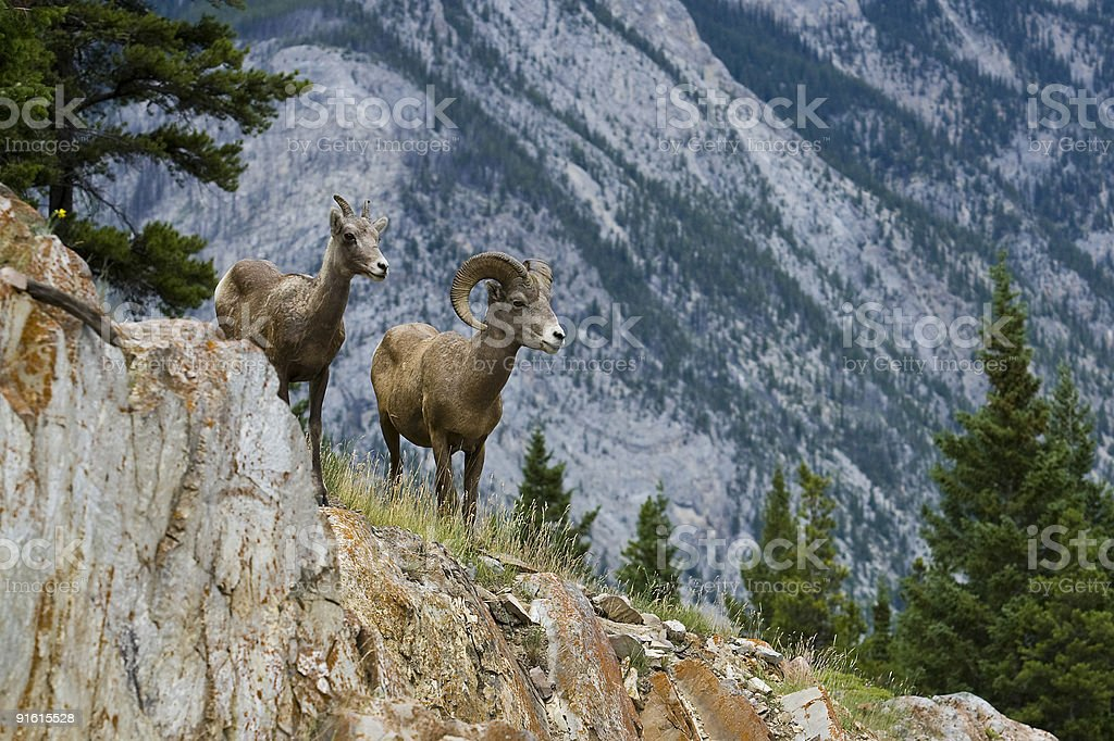 Male and female bighorn sheep with tall trees and mountain stock photo