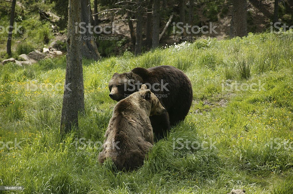 male and female brown bears in pyrenees royalty-free stock photo