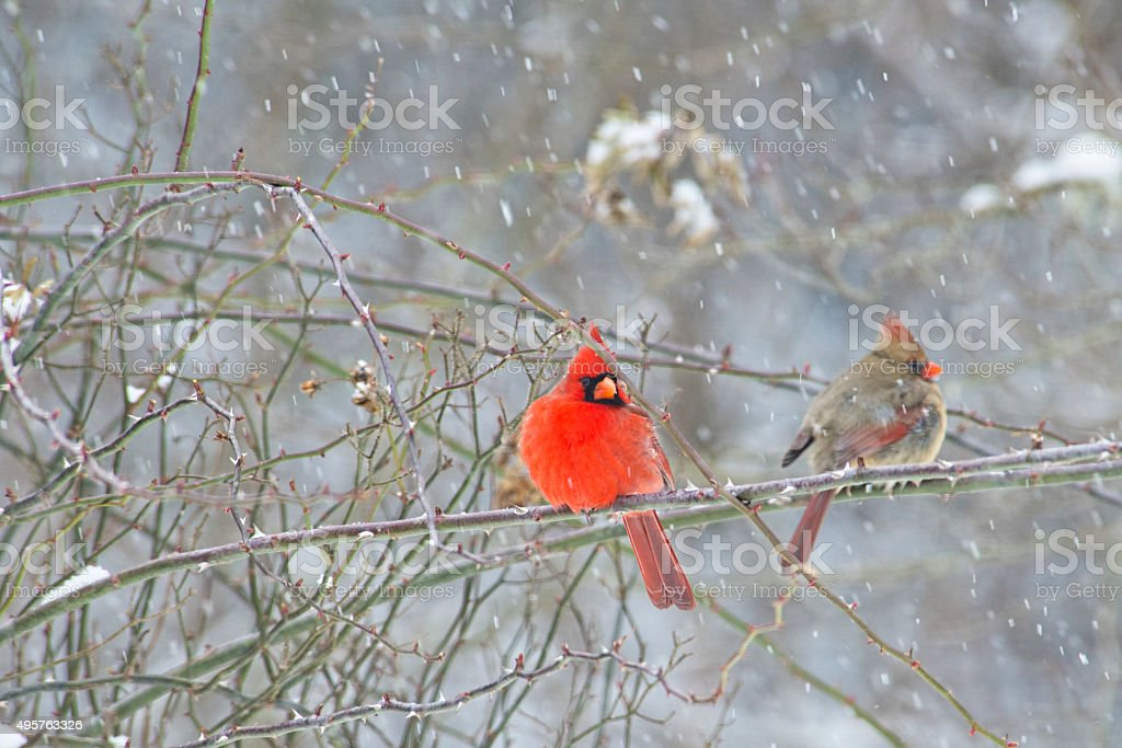Male and female Cardinal Birds sitting perched in snow storm. stock photo