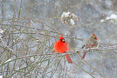 Male and female Cardinal Birds sitting perched in snow storm.
