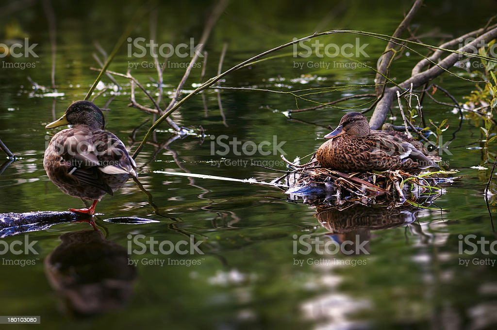 Male and female duck care for their eggs royalty-free stock photo