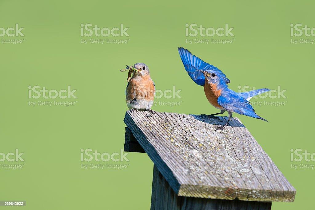 Male and female Eastern Bluebird, Sialia sialis, couple on birdhouse stock photo