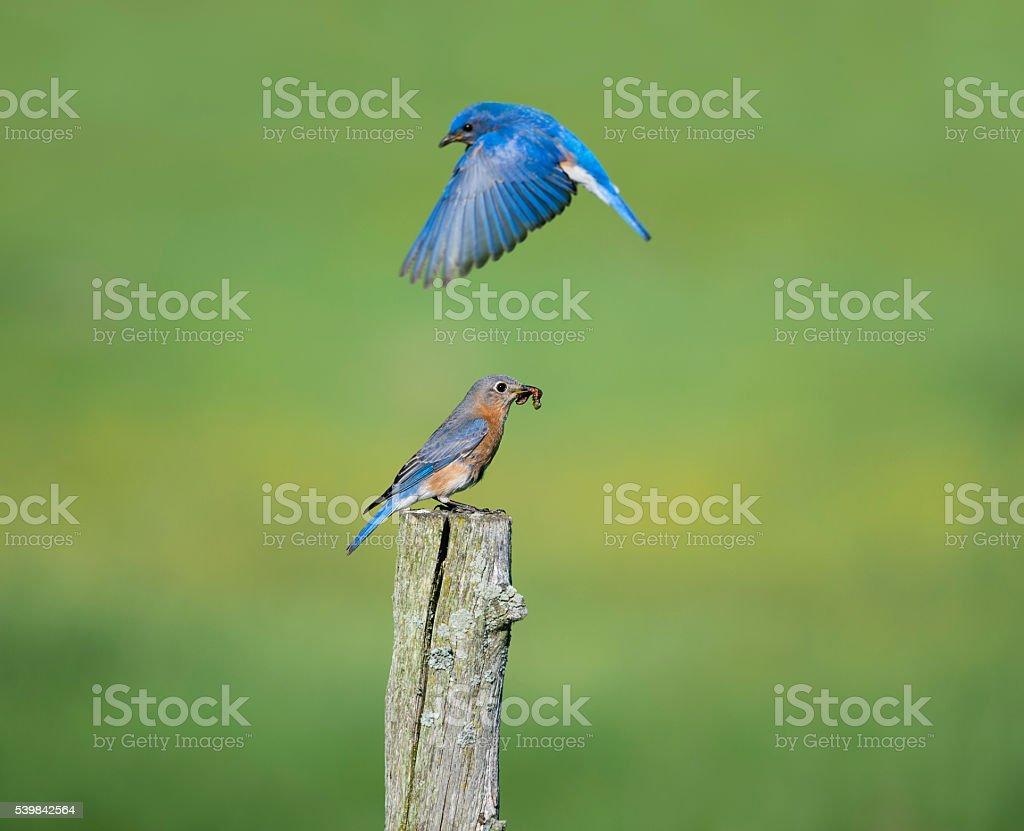 Male and female Eastern Bluebird, Sialia sialis, couple stock photo