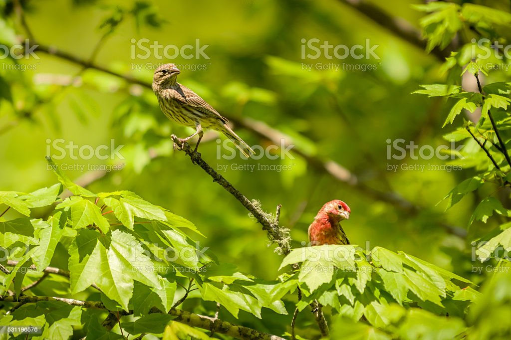 Male and female house finch birds stock photo