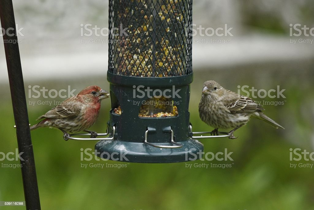 male and female house finch on bird feeder stock photo