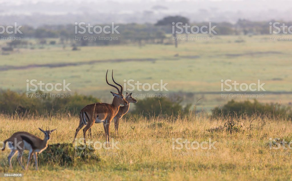 Male and female Impalas stock photo