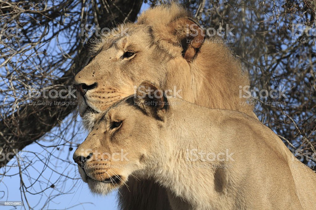 Male and female lion in the wild royalty-free stock photo