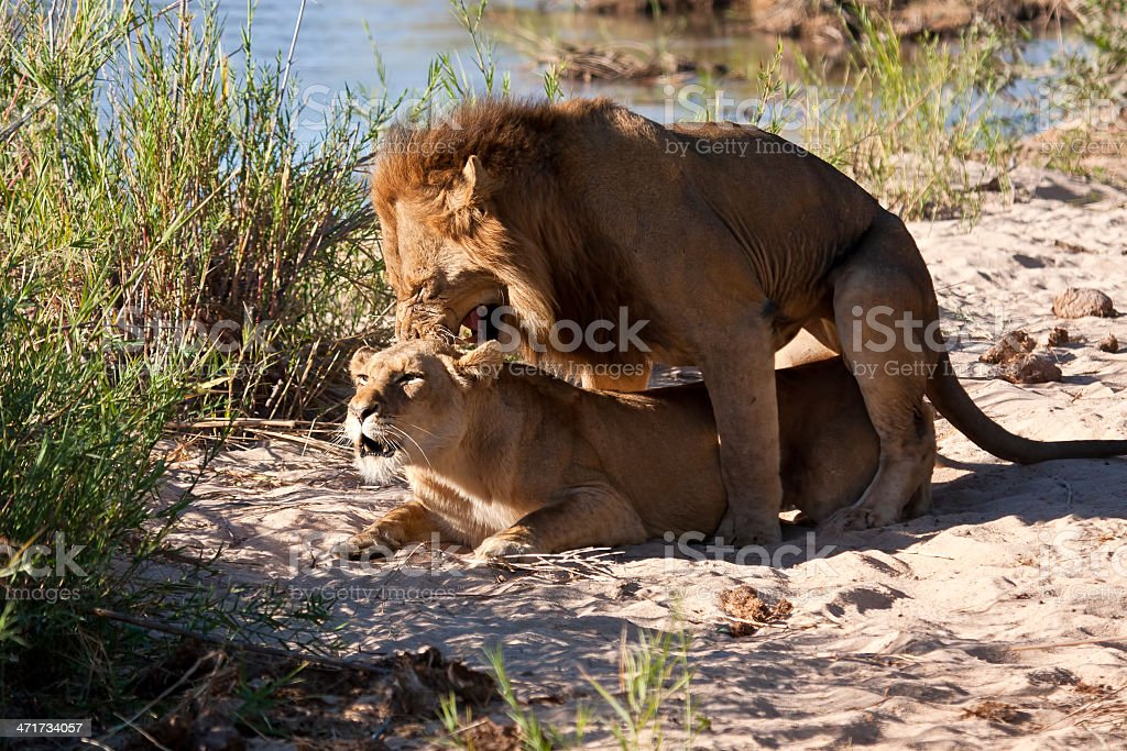 Male and female lion mating royalty-free stock photo