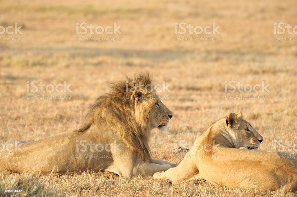 male and female Lion royalty-free stock photo