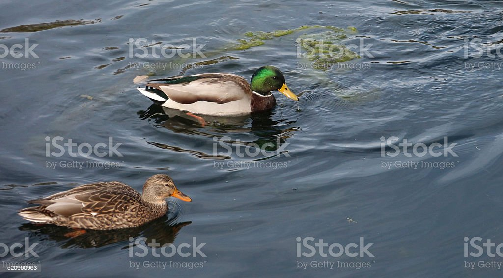 Male and Female Mallard Ducks in a Pond stock photo