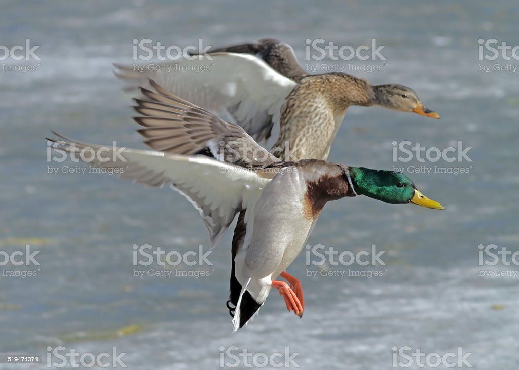 MAle and Female Mallard Ducks stock photo