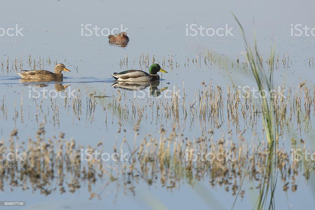 Male and female Mallard ducks swimming amongst reads stock photo