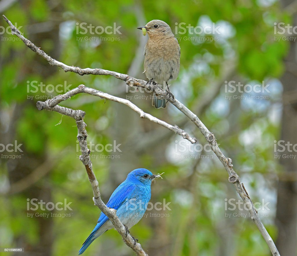 Male and Female Mountain Bluebirds stock photo