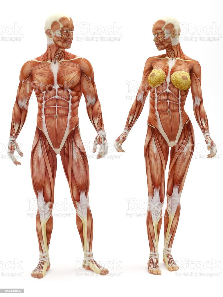 Male and Female musculoskeletal system vector art illustration