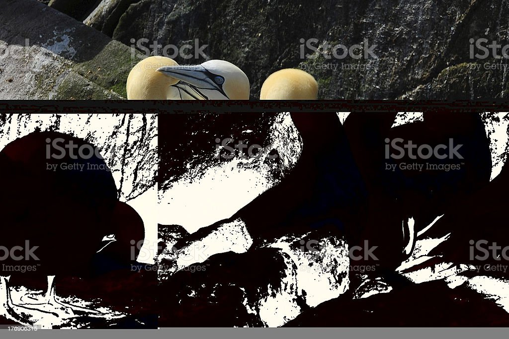 Male and female Northern gannet stock photo