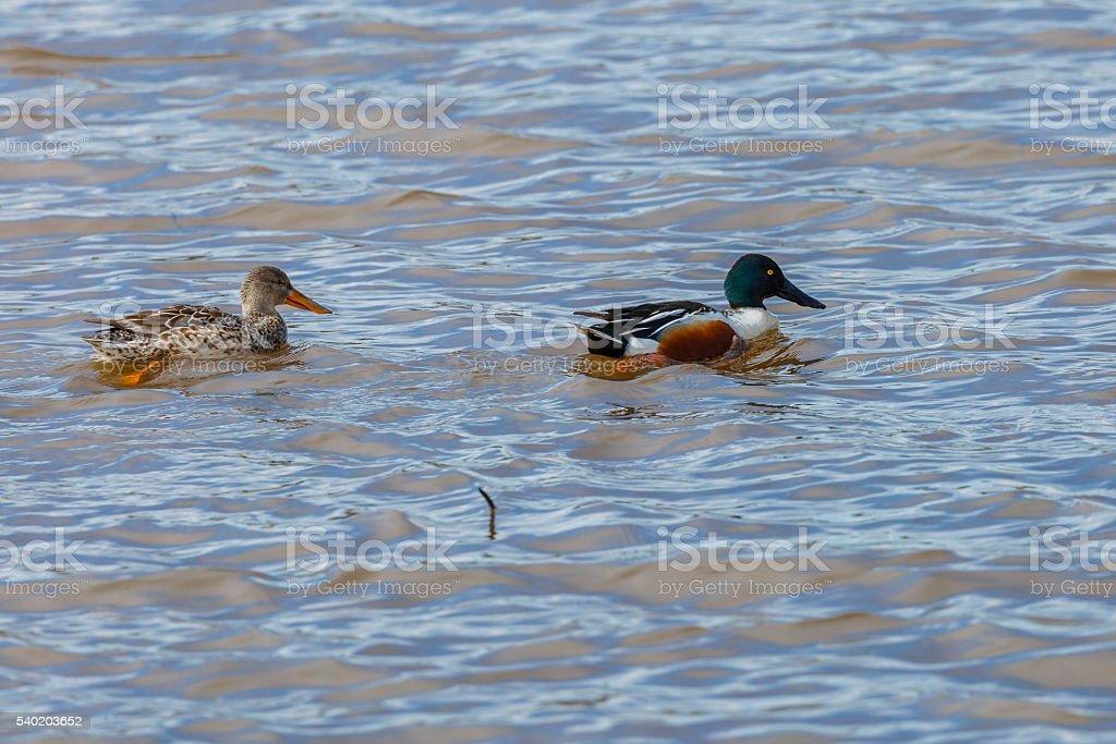 Male and Female Northern Shoveler (Anas clypeata) Ducks stock photo