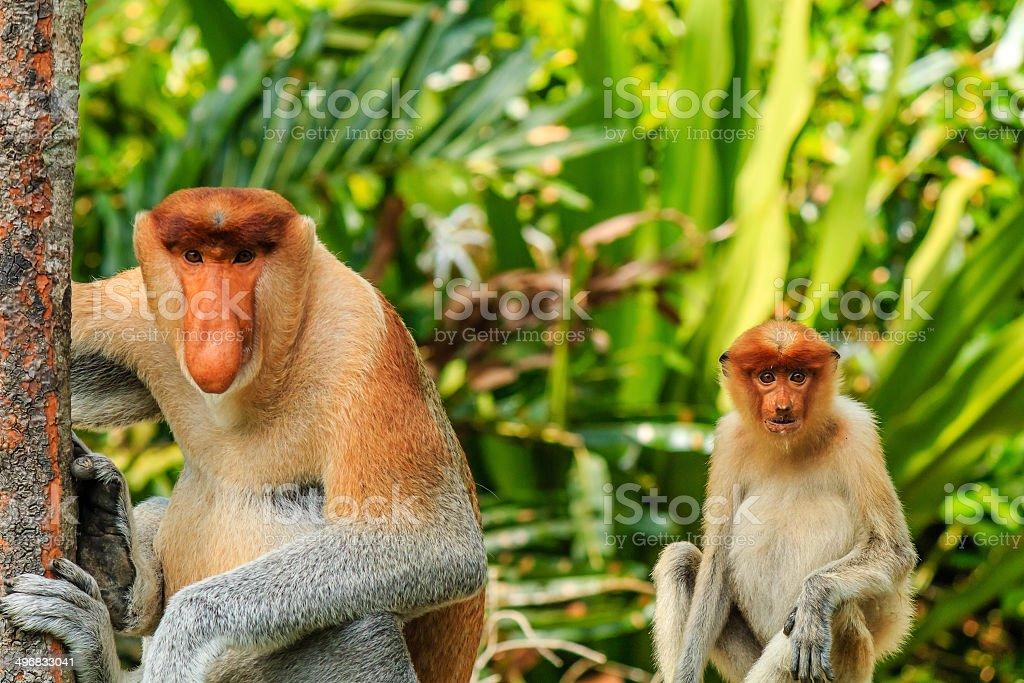 Male and female Proboscis Monkeys in the mangroves stock photo