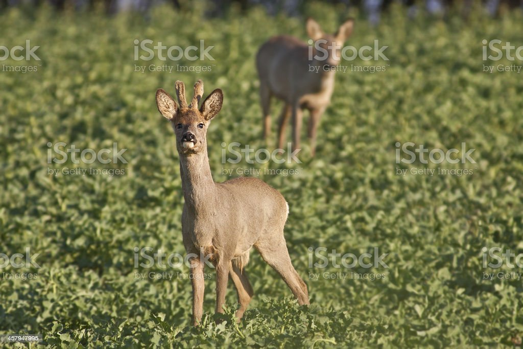 Male and female roe deer royalty-free stock photo