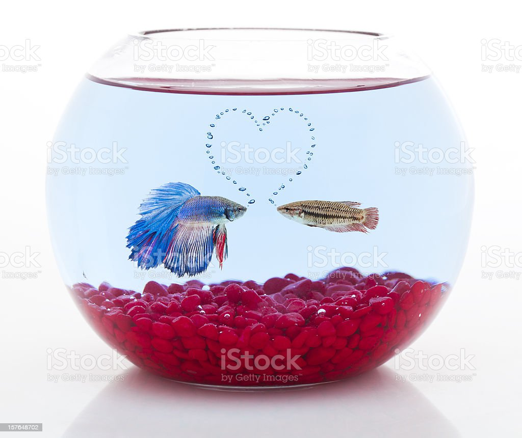 male and female siamese fighting fish in love royalty-free stock photo