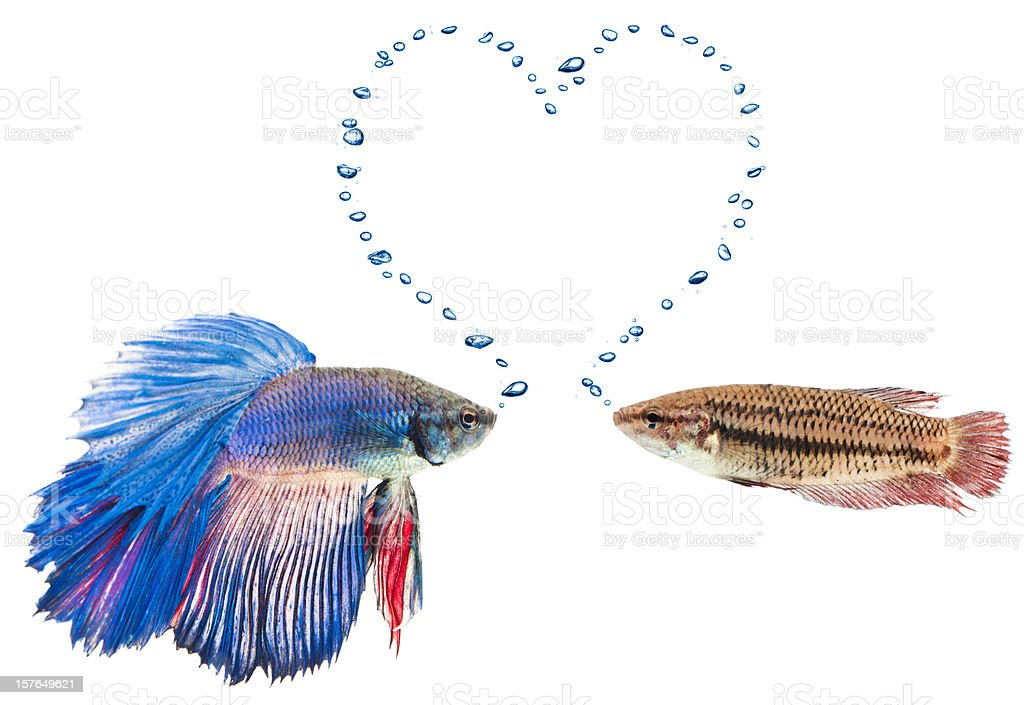male and female siamese fighting fish in love stock photo