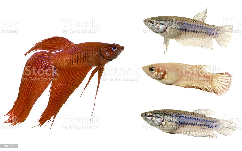 Male and Female Siamese fighting fish royalty-free stock photo