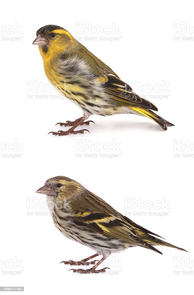 male and female siskins stock photo